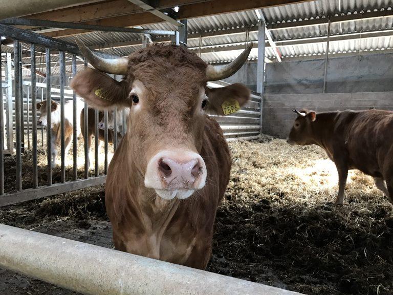 van kop tot staart een koe kopen