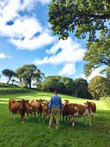 Guernsey koeien delicious