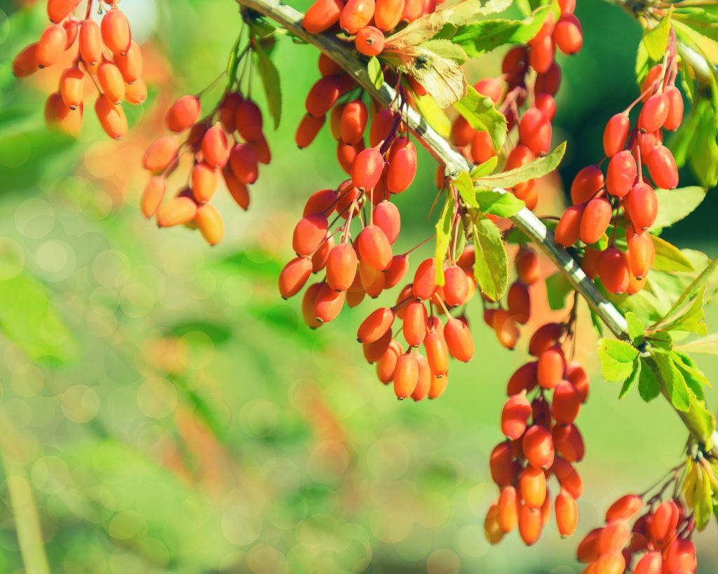 barberries - delicious